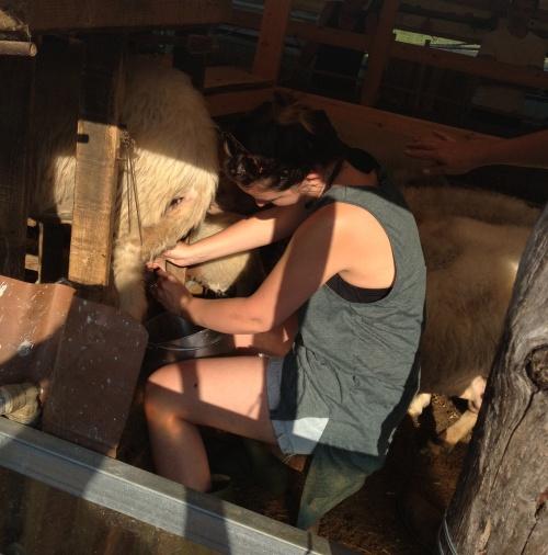 Ivana milking the sheep